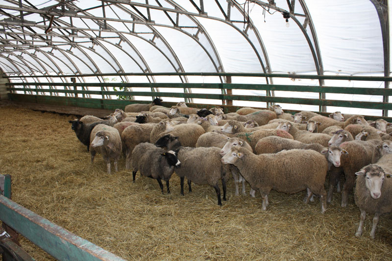 Moutons au campus de Saint-Hyacinthe