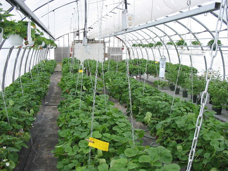 Serre de production de fraises